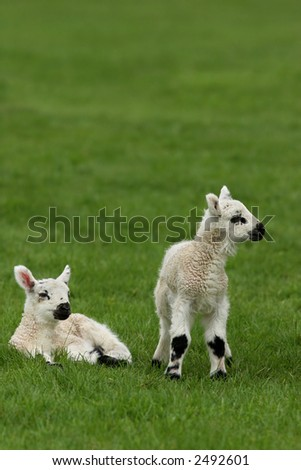Two lambs together in a field in spring. - stock photo
