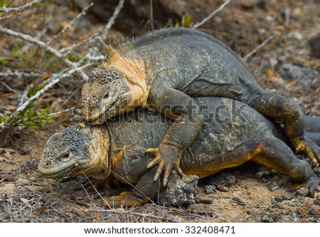 Two land iguanas in the mating season. Rare shot. Galapagos Islands. An excellent illustration.