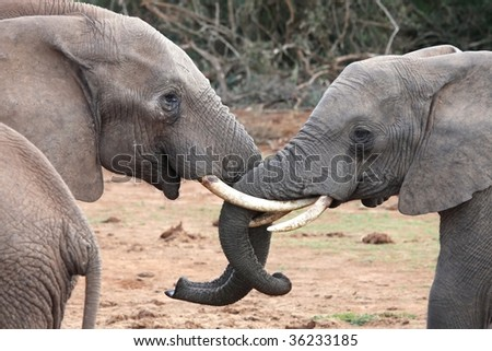 Two large African elephants greeting each other - stock photo