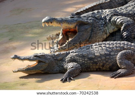 Two large crocodiles showing their jaws - stock photo
