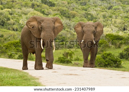 Two large elephants walking slowly closer on a gravel road with thick bush on either side - stock photo