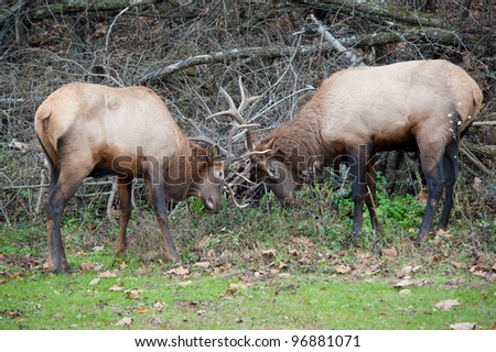 Two large male wild Elk with antlers locked in the Great Smoky Mountains National Park - stock photo