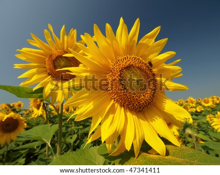 two large sunflowers with bee and pollen on leaves in the field - stock photo