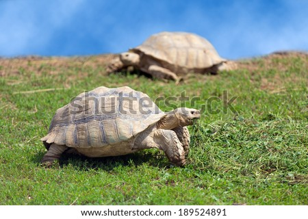 Two large tortoises on the grass on a sunny day - stock photo