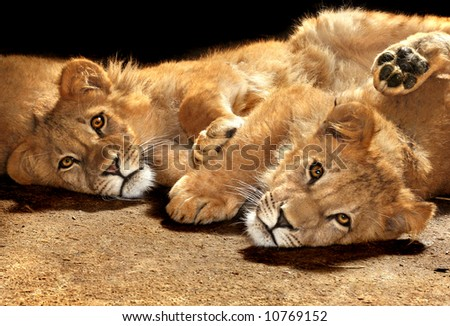 Two lazy young lions looking at the camera - stock photo