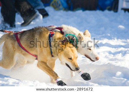two lead dogs starting the Iditarod 2007 - stock photo