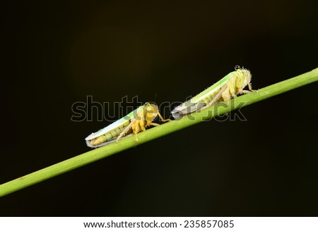 Two leaf cicadas crawling on the grass shoots close-up   - stock photo