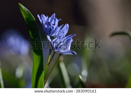 Two-leaf wild growing squill (Scilla bifolia), macro of just bloomed spring blue flowers - stock photo