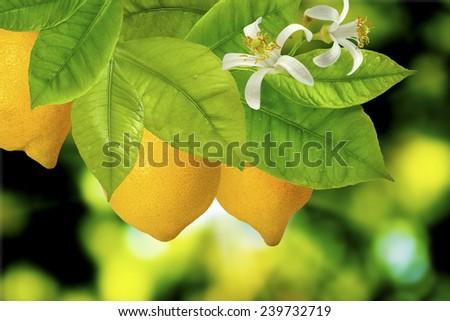 two lemon on a branch - stock photo