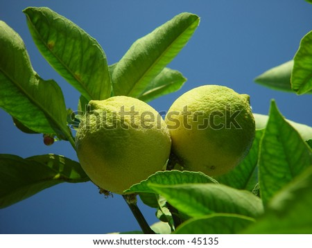 Two lemons on a tree