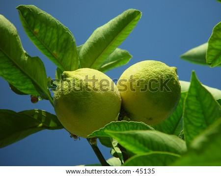 Two lemons on a tree - stock photo
