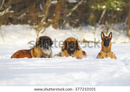 Two Leonberger dogs and Belgian Shepherd dog Malinois lying in the snow at sunny weather