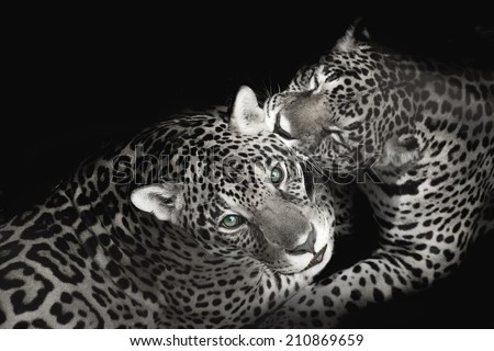 Two Leopard playing - stock photo