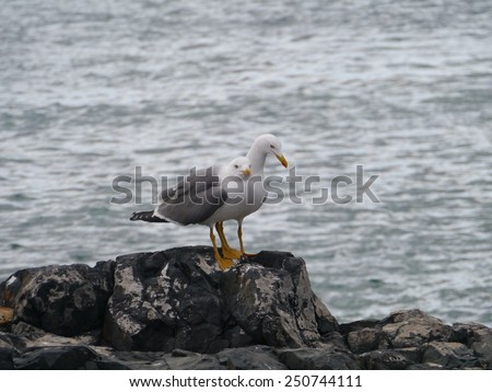Two lesser black backed gulls (Larus fuscus) on the rocks of the island Fuerteventura one of the Canarian island belonging to Spain in the Atlantic Ocean - stock photo