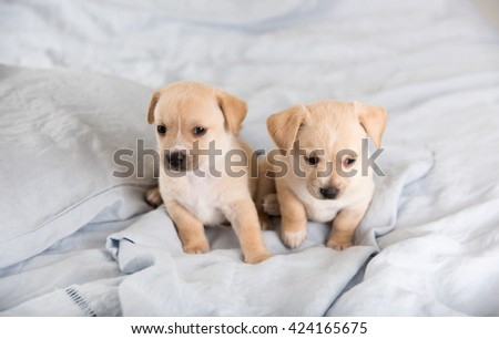 Two Light Colored Mixed Breed Puppies Playing on Bed - stock photo