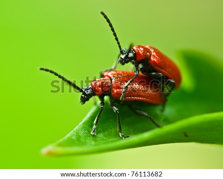 two lily beetles on leaf