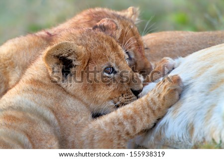 Two Lion babies drinking milk from their mother in the Serengeti, Tanzania - stock photo