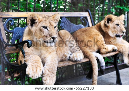 two lion cubs  laying on the bench - stock photo