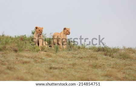 Two lion cubs on a hill in this photo. - stock photo