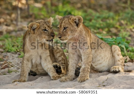 Two lion cubs seems to talk to each other - stock photo