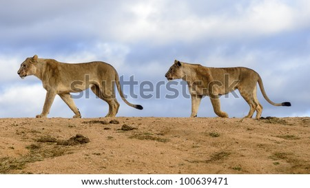 Two lion early in the morning in Madikwe Gamed Reserve South Africa - stock photo