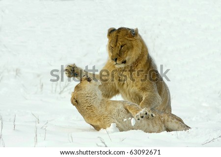 two lioness fighting in a  winter scene - stock photo