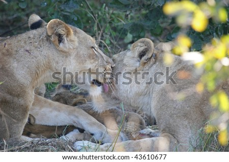 Two lioness' grooming each other with cubs in the background. Taken in the the Luangwa valley, Zambia. - stock photo