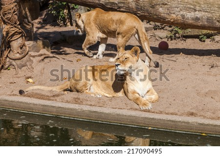 Two Lionesses - stock photo
