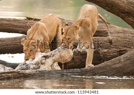 Two Lionesses feasting on a Hippo Kill in the Ruaha National Park, Tanzania. - stock photo