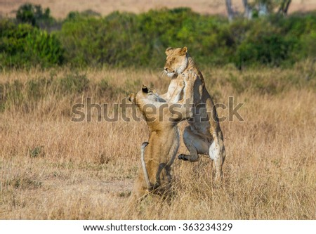 Two lionesses play with each other. National Park. Kenya. Tanzania. Masai Mara. Serengeti. An excellent illustration. - stock photo