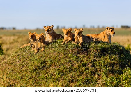 Two Lionesses with four cubs on a termite hill enjoy the sun in Masai Mara, Kenya - stock photo