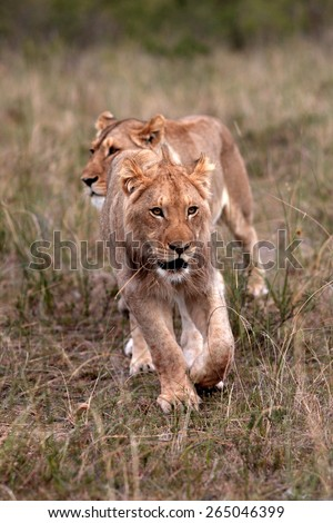 Two lions approach,walking straight towards the camera,in this beautiful low angle profile portrait taken in Addo Elephant national park,eastern cape,south africa - stock photo
