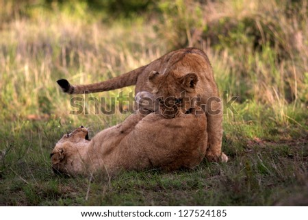 Two lions cubs playing in this photo from a South African safari. - stock photo