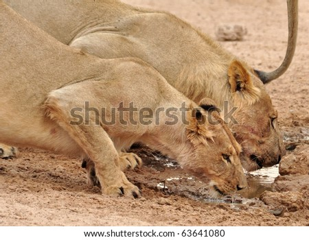 Two lions in the Kgalagadi Transfrontier Park, Kalahari Desert, South Africa. - stock photo