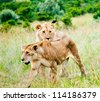 Two lions, Kenya, Africa - stock photo