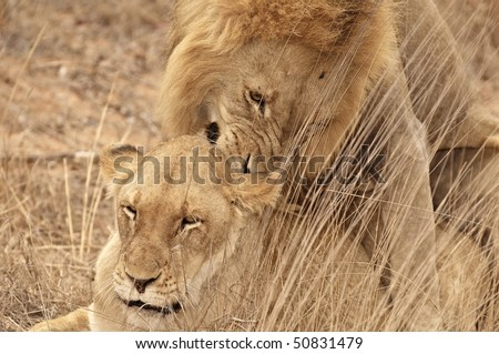 Two lions mating in the grass - stock photo