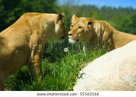 Two lions meet on a hill - Love or hate? - stock photo