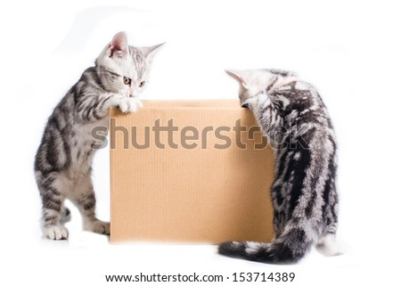 Two Little American short hair cat play around Box - stock photo