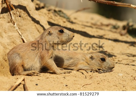 Two little baby prairie dogs - stock photo