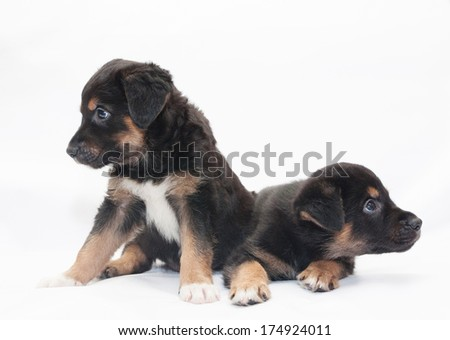Two little black puppy with brown spots look in different directions, on white background - stock photo