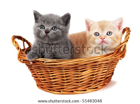 Two little british shorthair kittens cat isolated sitting in a basket - stock photo