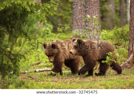 Two little brown bears walking in the forest - stock photo