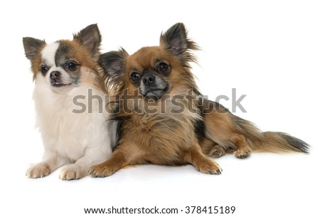 two little chihuahua in front of white background - stock photo