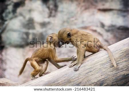 Two little cubs of Guinea baboon (Papio papio) are playing on the tree trunk. - stock photo