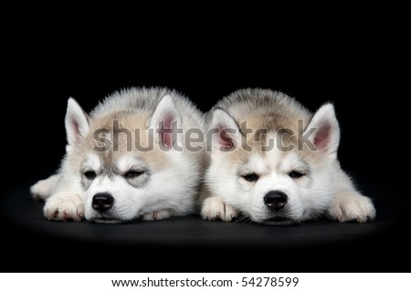 Two Little cute puppy of Siberian husky dog in studio over black
