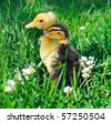 two little ducks on green grass - stock photo
