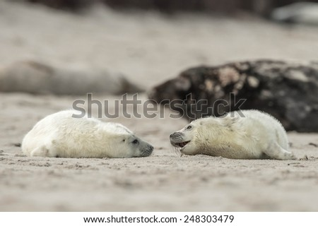 Two little grey seal pups are playing with each other on the beach - stock photo