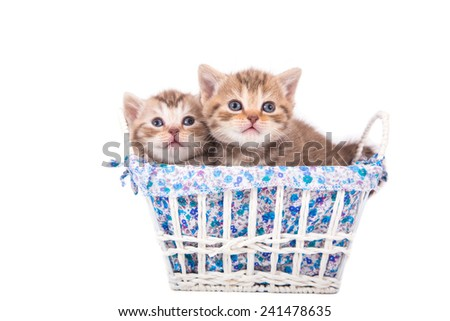 Two little Kittens British striped brown sitting in a basket. Kitten one month.  - stock photo