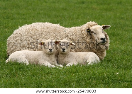 Two little lambs next to their mother looking at you - stock photo