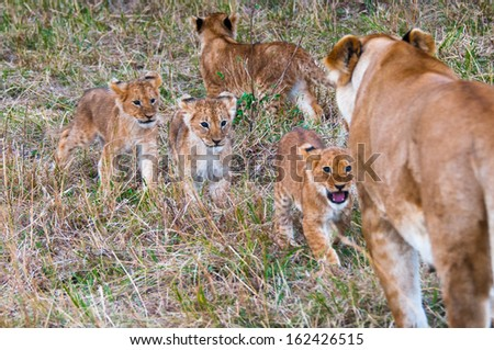 Two little lions run to the mother - stock photo